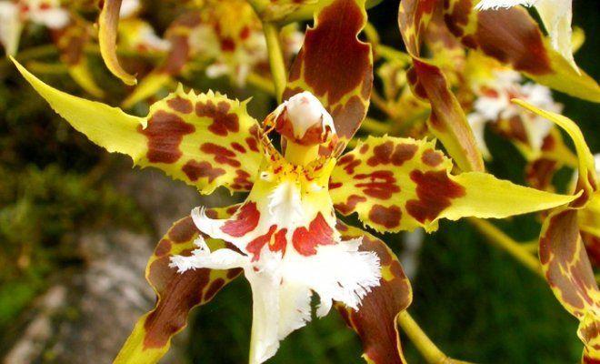 орхидея одонтоглоссум уход