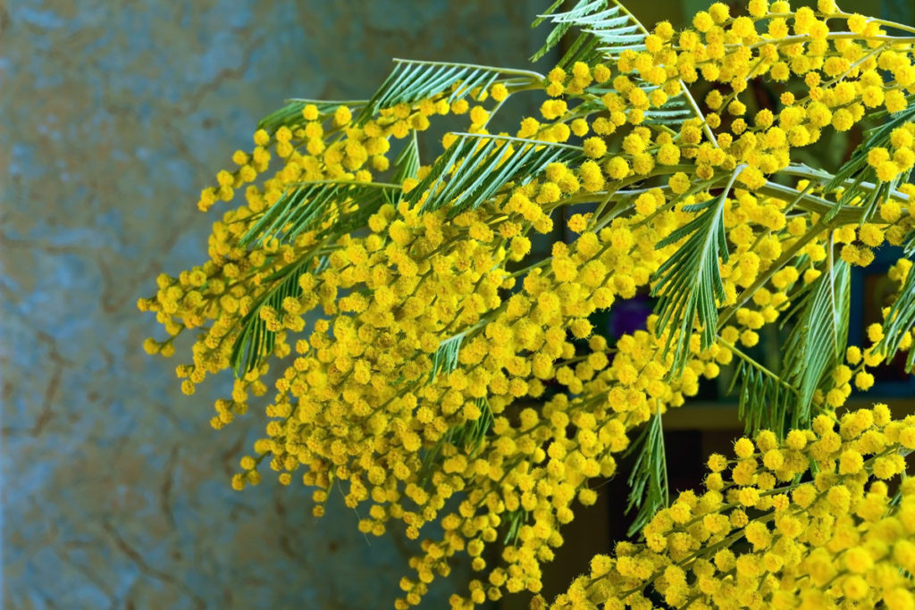 мимоза цветок фото
