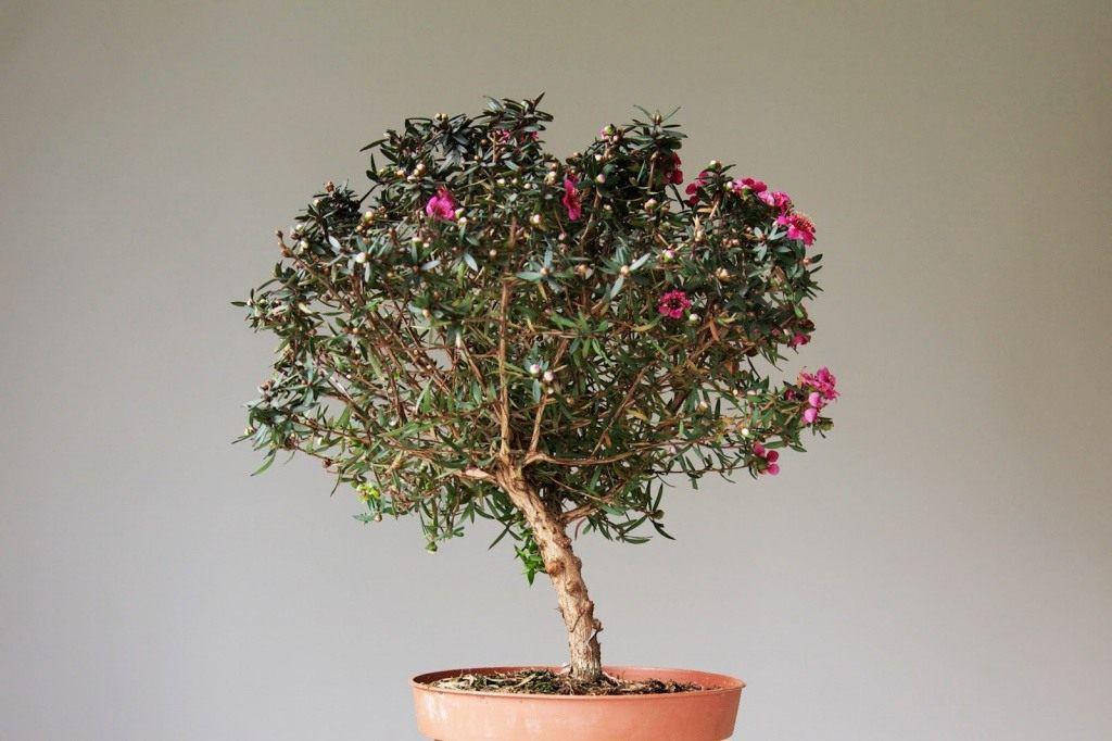 дерево манука