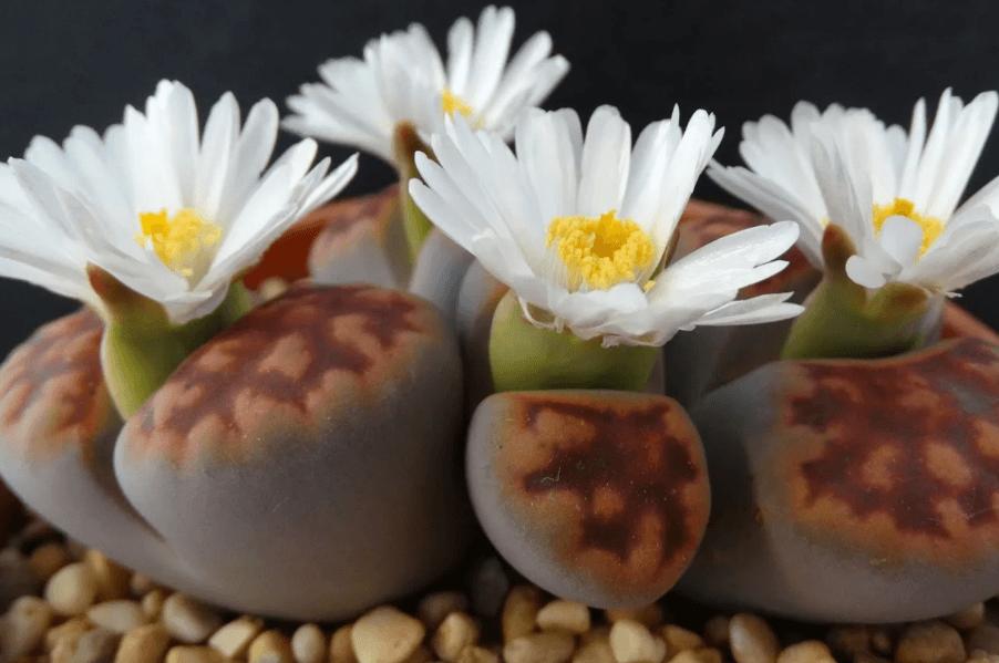 литопсы выращивание в домашних условиях
