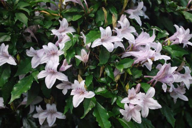 азистазия цветок