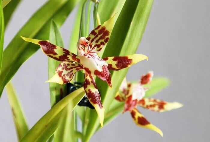 орхидея одонтоглоссум уход в домашних условиях