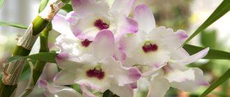Всё об уходе и размножении орхидеи дендробиум
