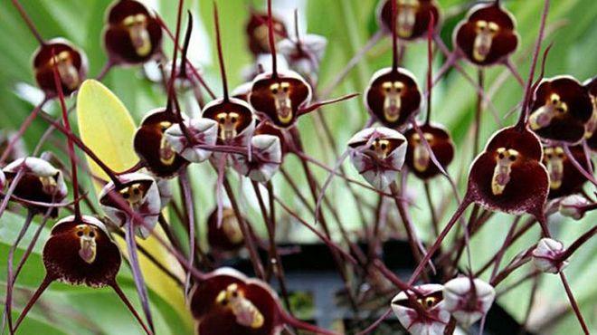 орхидея обезьянья дракула