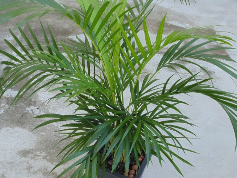 пальма комнатная разновидности