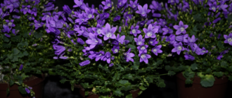 Цветок Кампанула