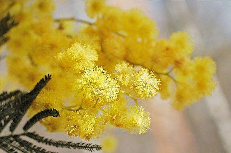 мимоза цветок уход