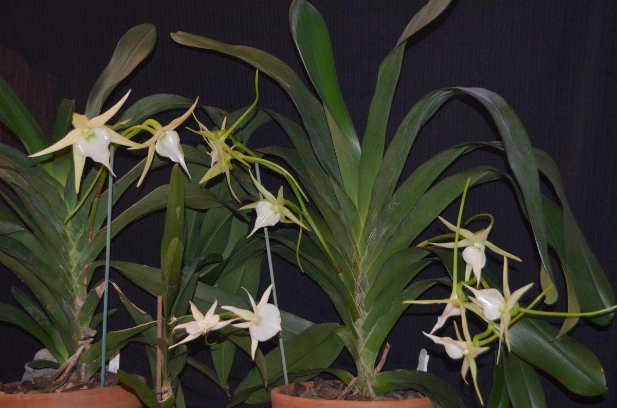 орхидея ангрекум фото