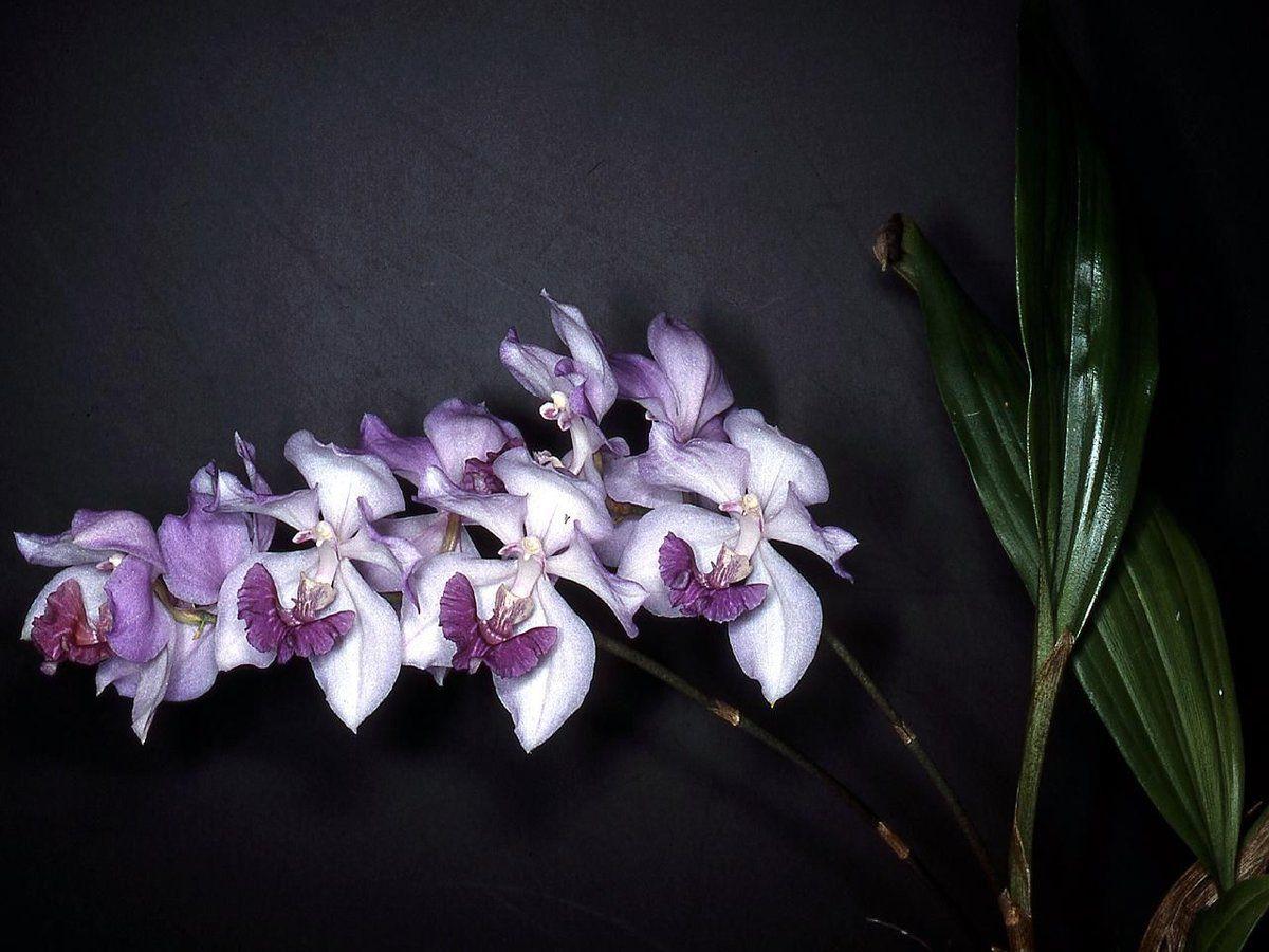 орхидея вида аганизия