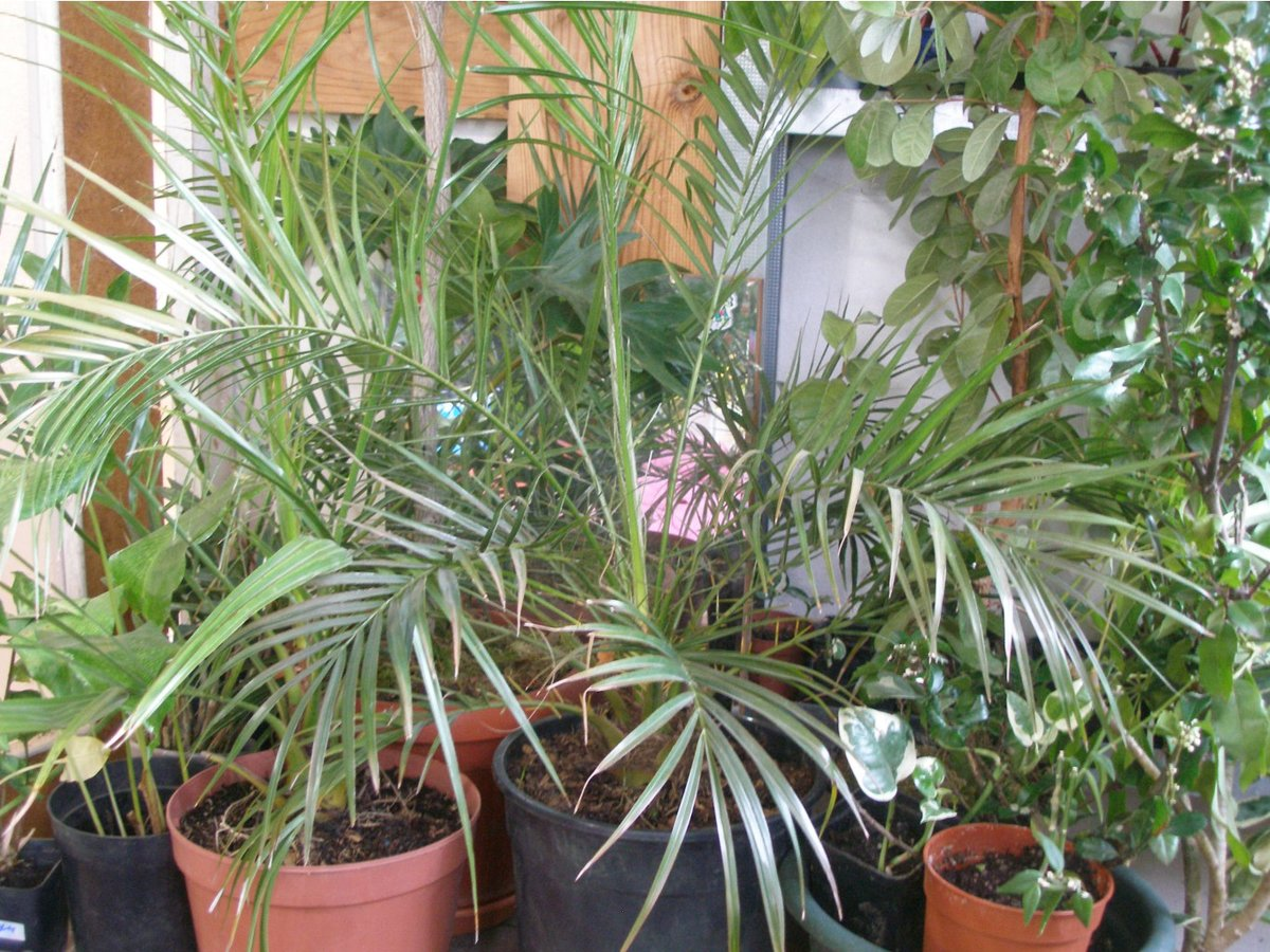 комнатные пальмы названия