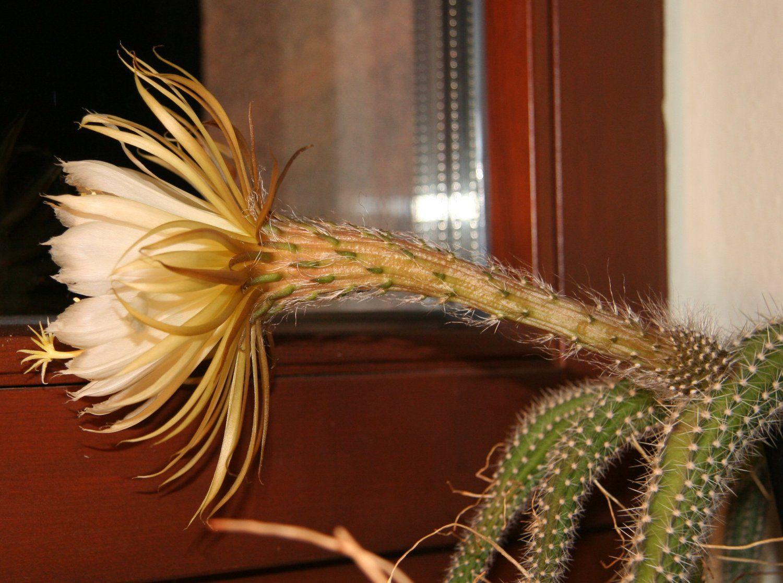 селеницереус из семян