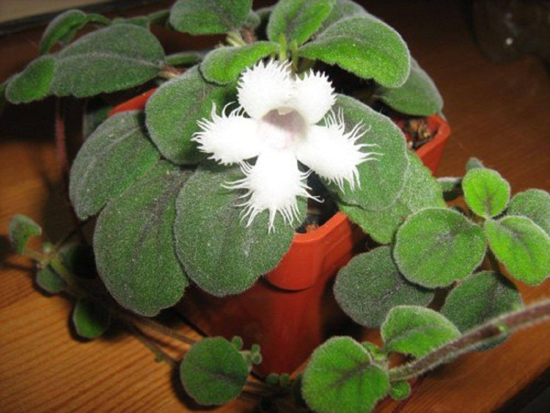 альсобия комнатные растения