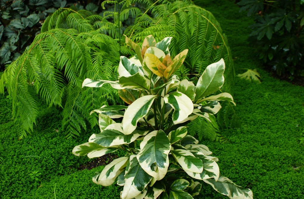 Цветок Пизония
