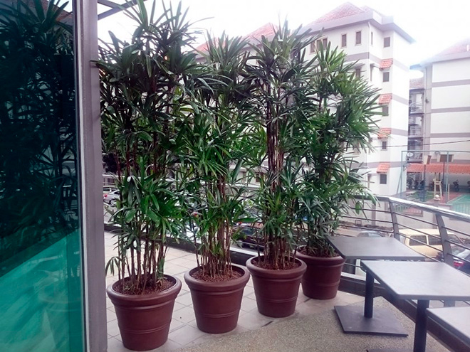 рассаживание пальмы по горшкам
