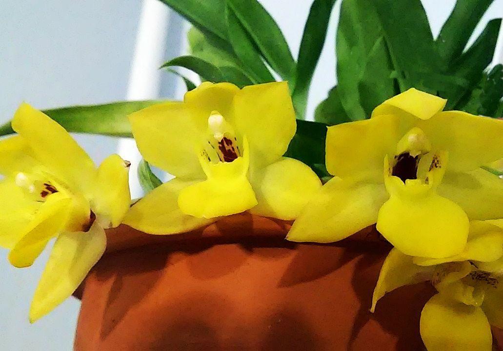 Променея орхидея: описание и уход в домашних условиях
