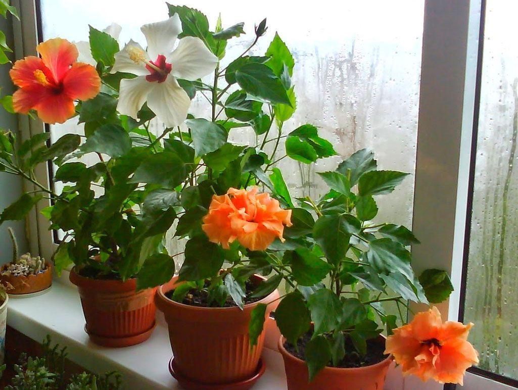 Орхидея плейоне: описание и уход в домашних условиях