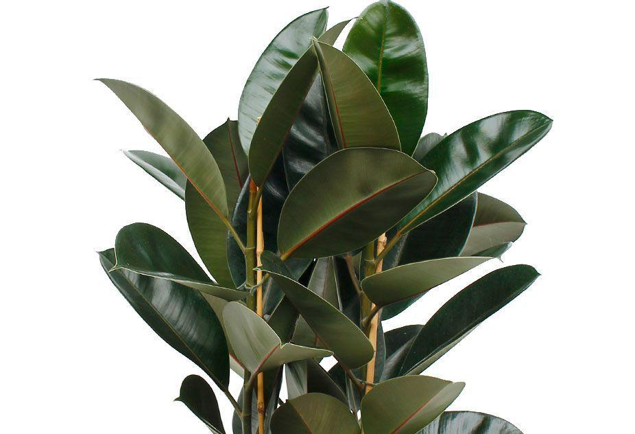 Кринум: описание, выращивание и уход