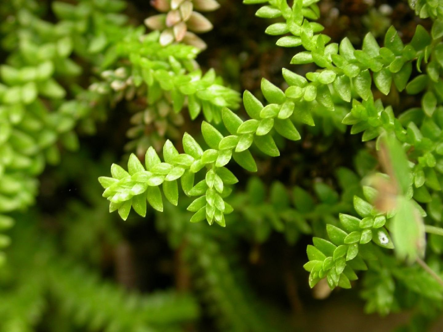 Селагинелла: описание, уход и выращивание