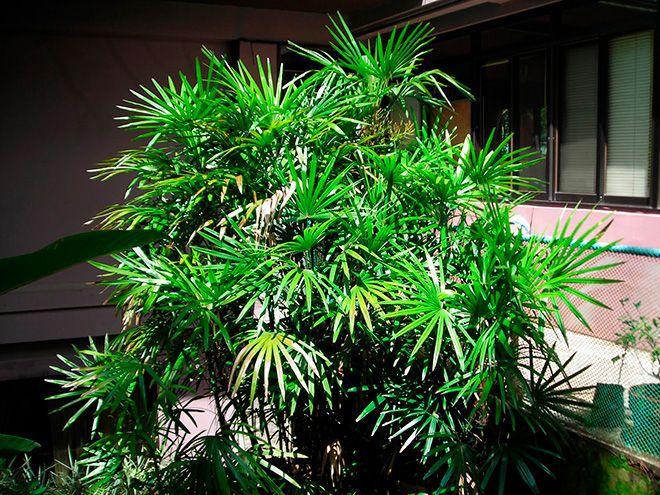 Большая пальма Рапис