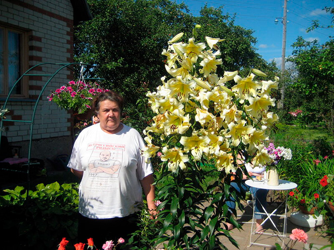 Гигантский Кардиокринум в саду