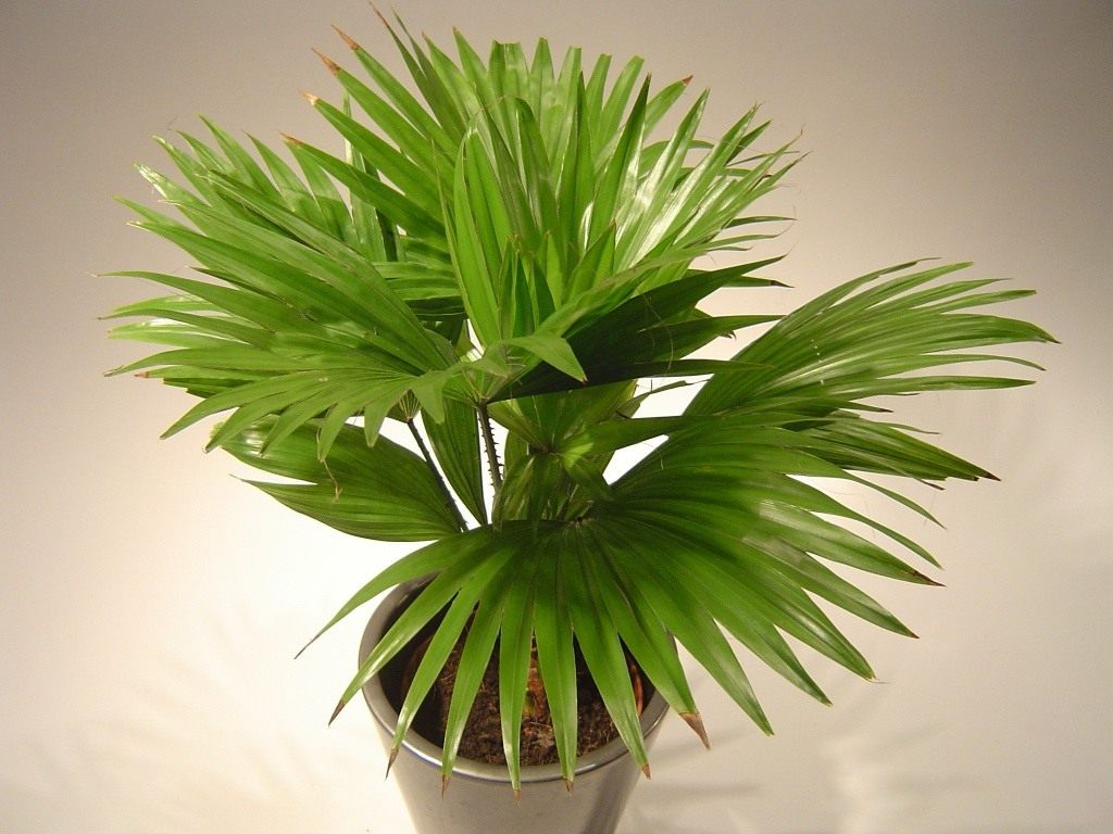 Листовая пальма