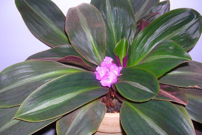 Цветущий сидерасис