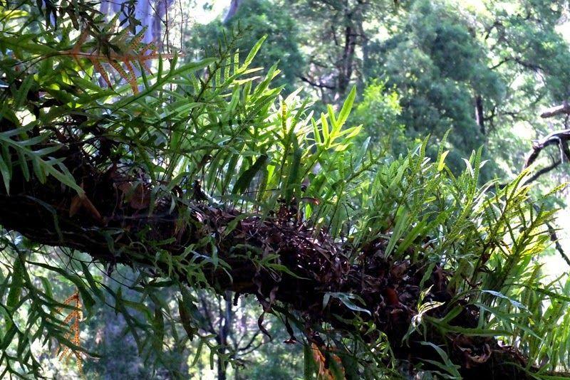 Растения эпифиты: описание видов