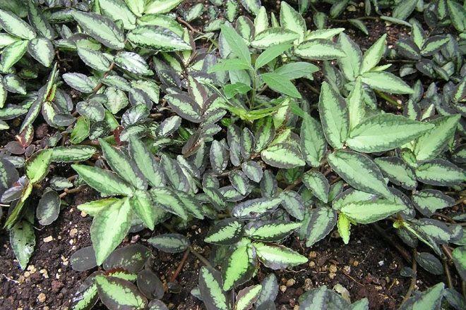 Листья Пеллионии