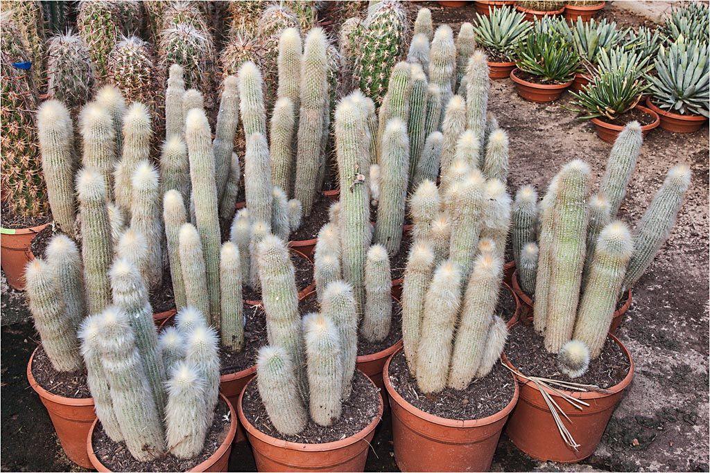 Клейстокактус: уход и выращивание в домашних условиях