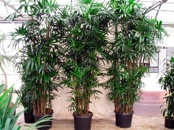 Пальмы рапис