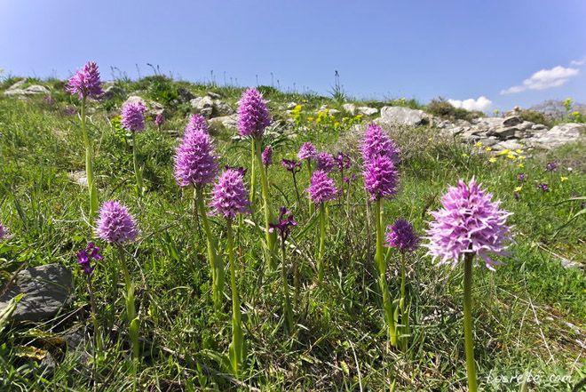Цветы Ятрышника