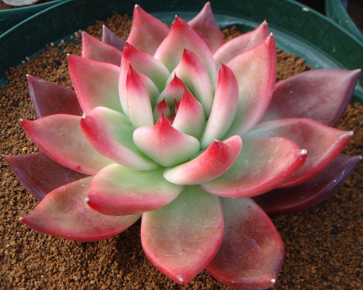 Эхеверия: полив, уход и размножение