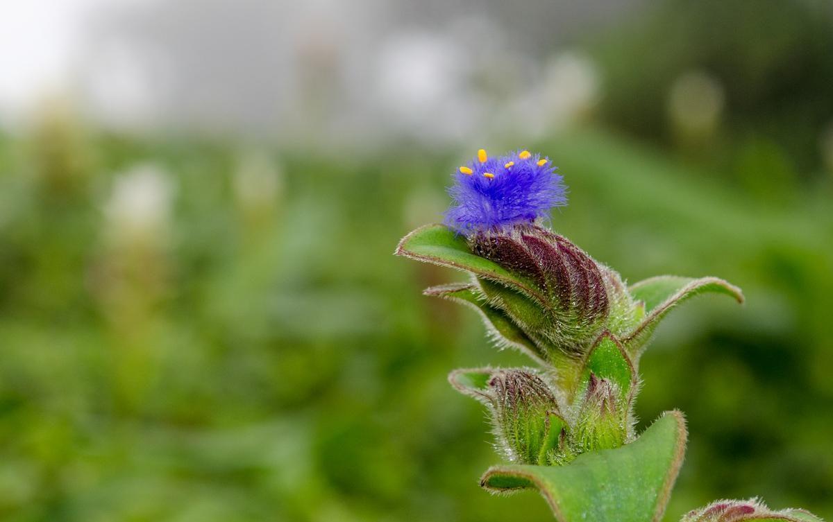 Цианотис: описание и условия выращивания