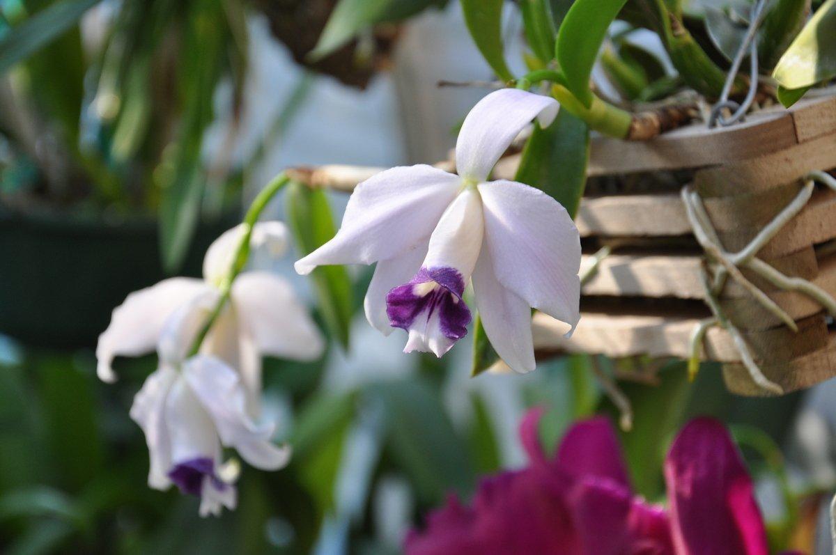 Орхидея Лелия: описание и выращивание