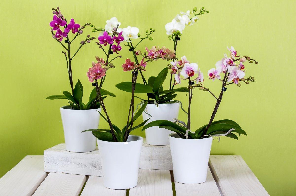 Почему долго не цветет орхидея