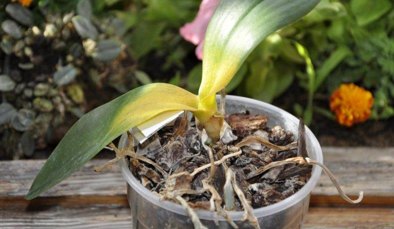 орхидея сохнет