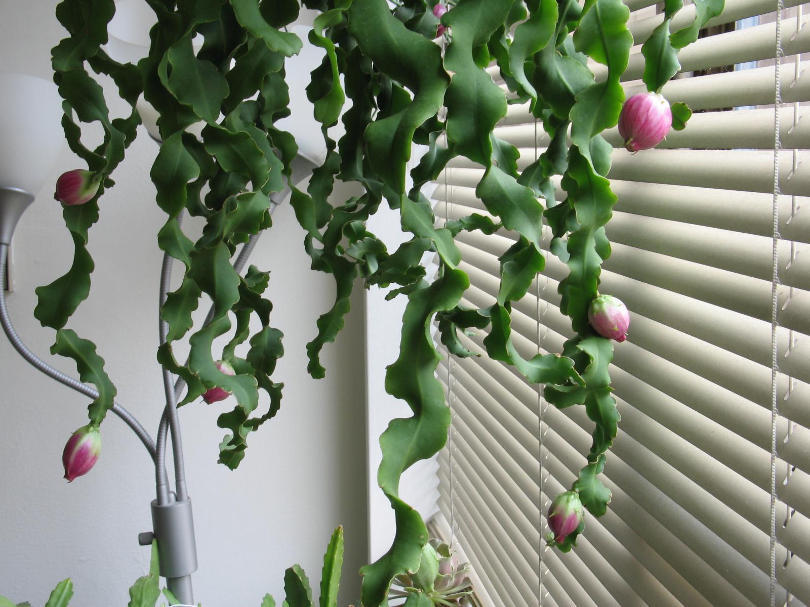 Почему не цветет эпифиллум в домашних условиях