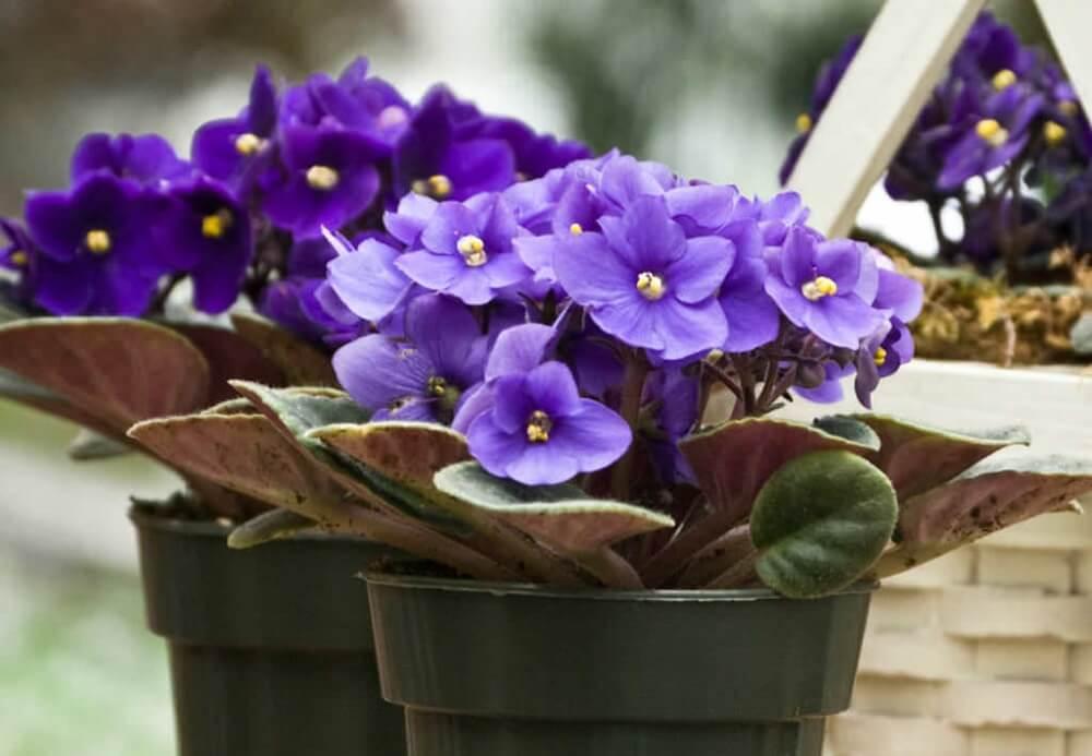 Почему не цветет фиалка комнатная