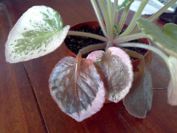 гниют листья фиалки