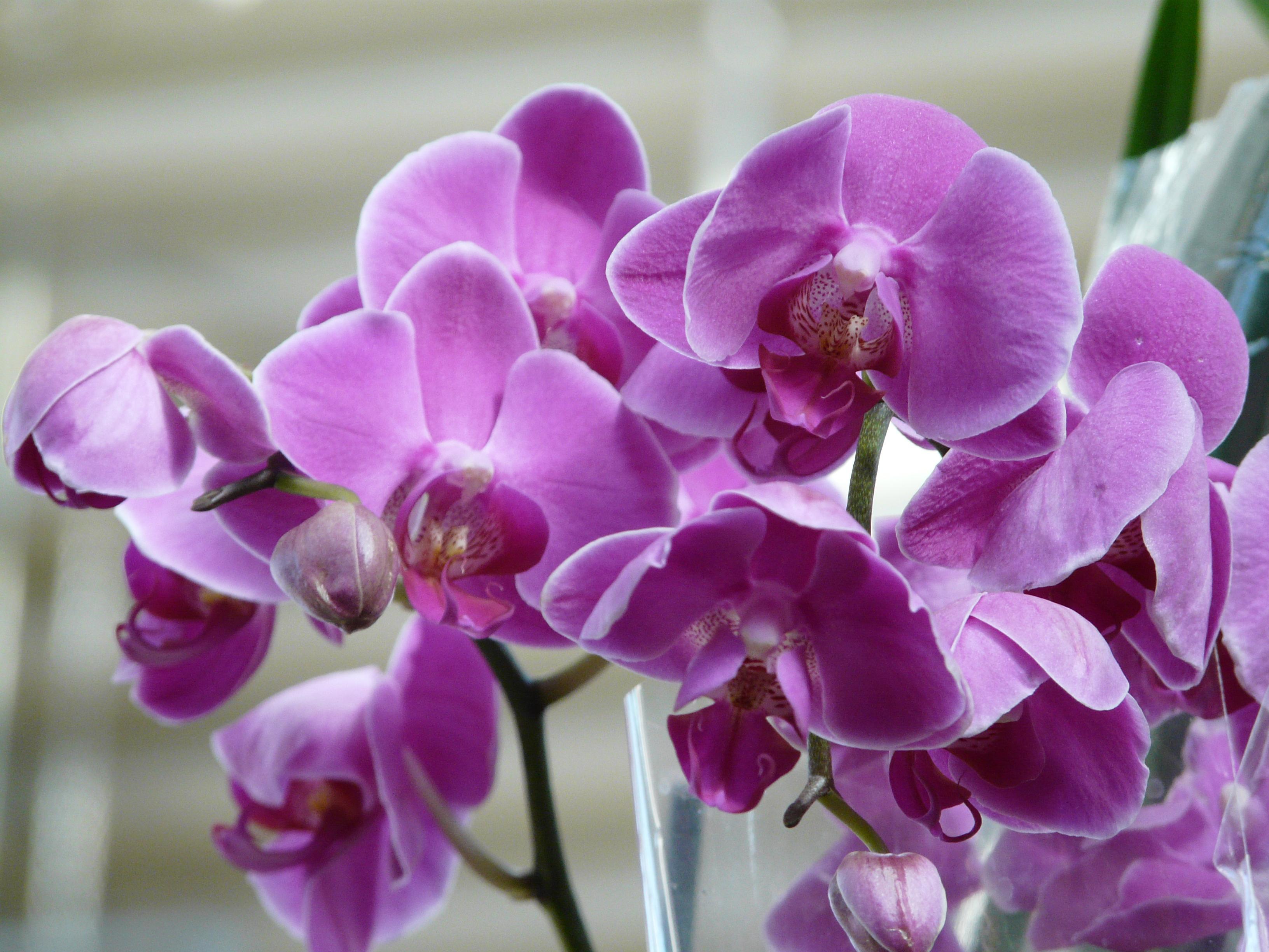 Почему вянет орхидея фаленопсис