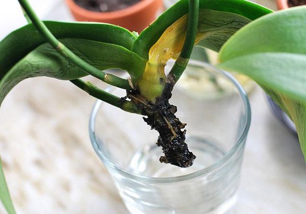 Почему гниет орхидея