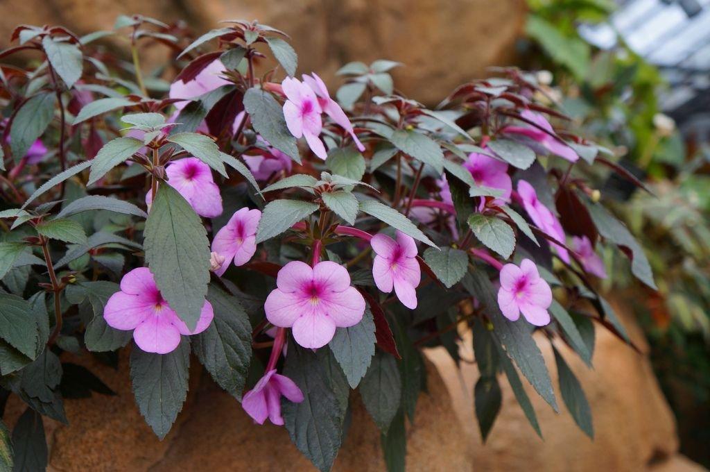 ахименес цветет